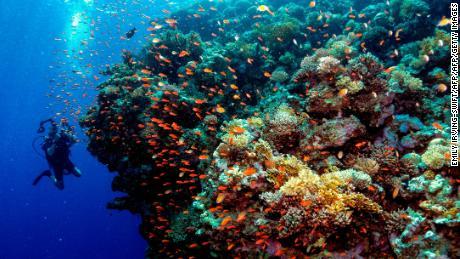 Bisakah peternakan karang menyelamatkan terumbu kami?