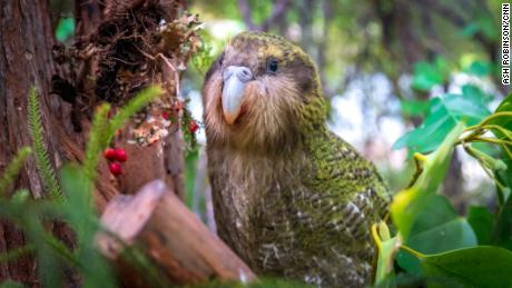 Dapatkah teknologi menyelamatkan kakapo, Selandia Baru, cantik, lucu & # 39; burung beo?