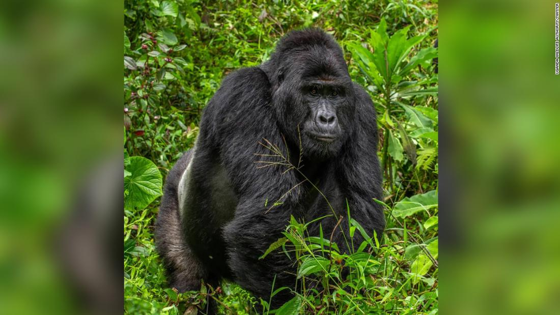 Uganda Wildlife Authority have arrested four people over the death of Rafiki, the silverback of Nkuringo Gorilla group in Bwindi Impenetrable National Park.