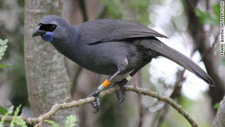 A Kokako - burung asli Selandia Baru - di Suaka Margasatwa Pulau Tiritiri Matangi.