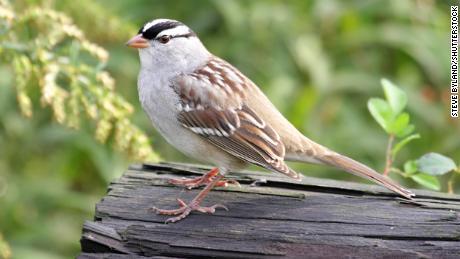 Burung pipit putih dewasa yang dewasa di atas kayu gelondongan.
