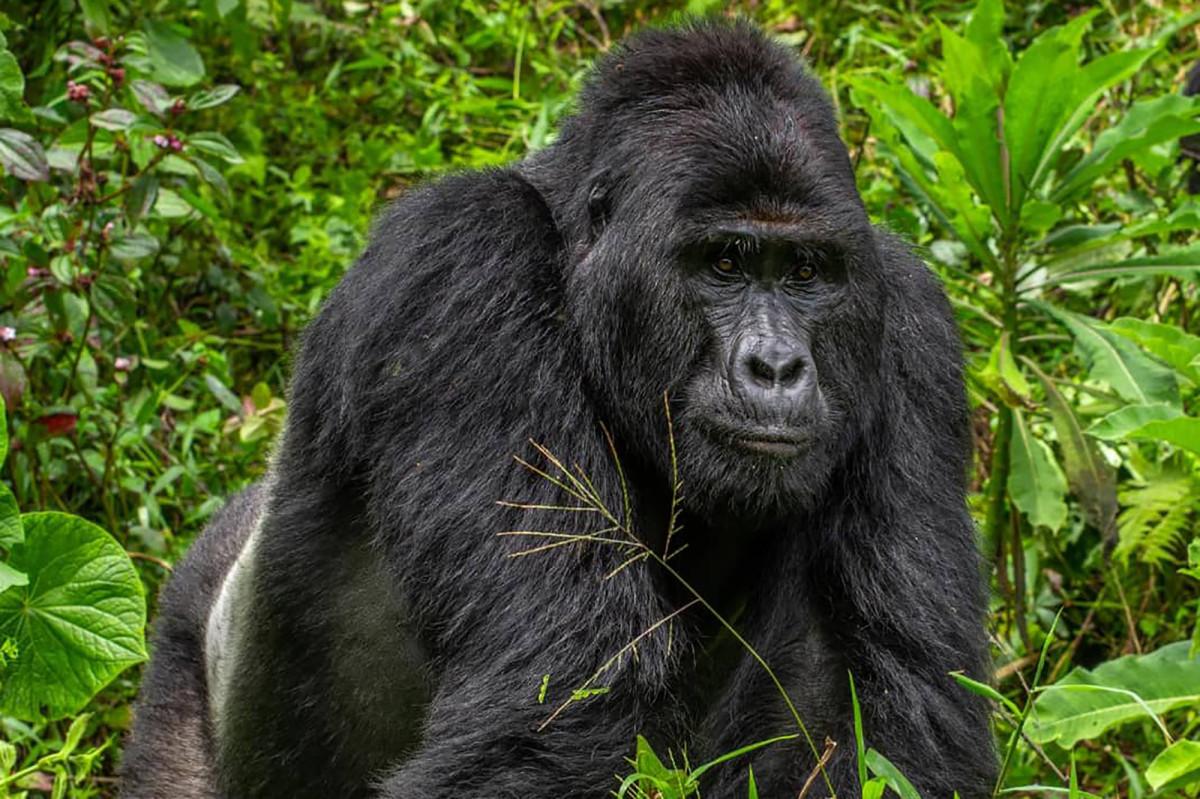 Empat pria ditangkap karena membunuh gorila terkenal di dunia di Uganda, Rafiki